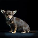 Chihuahua multi-colorida pequena no fundo preto Foto de Stock Royalty Free