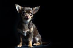 Chihuahua multi-colorida pequena no fundo preto Fotos de Stock Royalty Free