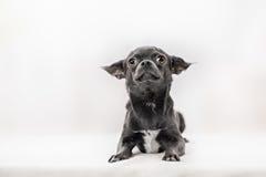 Chihuahua muy divertida del perrito foto de archivo