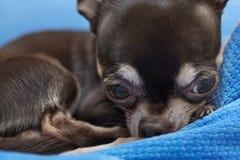 Chihuahua muy linda Imagen de archivo