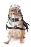 Chihuahua in muzzle. Purebred  chihuahua in muzzle in front of white background Royalty Free Stock Images