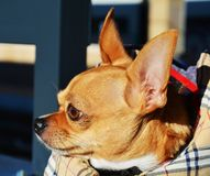 Chihuahua närbild fotografering för bildbyråer