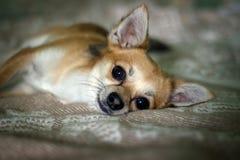 Chihuahua na cama Imagens de Stock