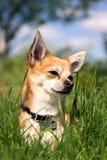 Chihuahua na grama Fotografia de Stock