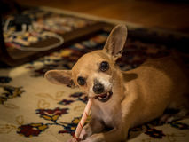 Chihuahua Named Bambi. Chihuahua Dog lying down and eating chew stick Stock Image