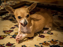 Chihuahua Named Bambi. Chihuahua eating chew toy on the floor Royalty Free Stock Images