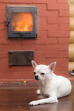 Chihuahua near the furnace. White Chihuahua heated by a home stone furnace Stock Images