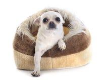 Chihuahua nel letto del cane immagini stock