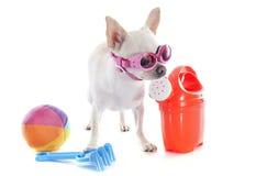 Chihuahua nelle feste Fotografie Stock