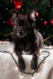 Chihuahua nera con la ghirlanda di Natale Immagini Stock