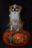 Chihuahua nervosa di Halloween Fotografia Stock