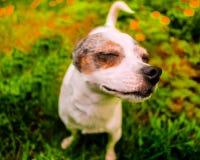 Chihuahua am nettesten stockbild