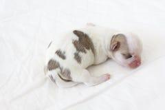 Chihuahua Newborn Royalty Free Stock Photos