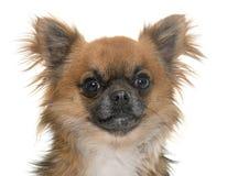 Chihuahua no estúdio Imagem de Stock