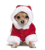 Chihuahua no revestimento de Santa, o 1 anos de idade imagens de stock royalty free