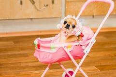Chihuahua no traje do bebê no pram do brinquedo Foto de Stock