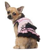 Chihuahua no vestido cor-de-rosa, 12 meses velho, sentando-se Fotografia de Stock Royalty Free