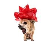 Chihuahua oben gekleidet für Weihnachten lizenzfreie stockfotos