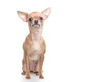 Chihuahua obsiadanie Obraz Stock
