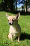 Chihuahua obsiadanie Zdjęcie Stock