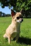 Chihuahua obsiadanie Zdjęcie Royalty Free