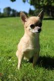 Chihuahua obsiadanie Obrazy Stock