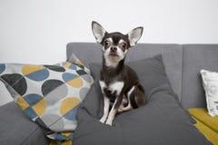 Chihuahua obsiadanie na popielatej kanapie Zdjęcia Stock