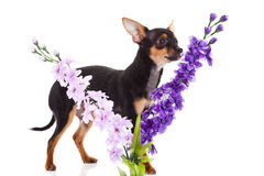 Chihuahua och blommor som isoleras på vit bakgrund Royaltyfri Fotografi