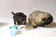 Chihuahua- och pekinesvalpar Ukreina 2018 arkivbild