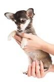 Chihuahua odizolowywający na białym tło psie na rękach Obraz Stock