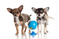 Chihuahua odizolowywający na białym tle jest prześladowanym wiedzę Fotografia Stock