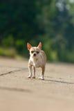 Chihuahua odprowadzenie na drodze lub Fotografia Royalty Free