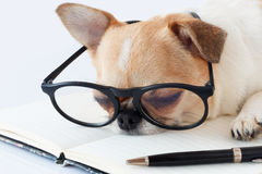 Chihuahua Officer dog Royalty Free Stock Image
