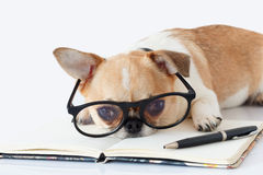 Chihuahua Officer dog Royalty Free Stock Photography