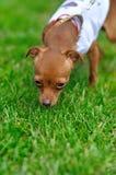 Chihuahua op het gras royalty-vrije stock foto