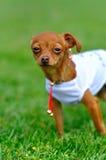 Chihuahua op het gras stock foto