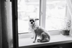 Chihuahua op het venster royalty-vrije stock afbeelding