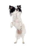 Chihuahua op witte achtergrond wordt geïsoleerd die Royalty-vrije Stock Foto