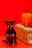 Chihuahua and orange Fall background Stock Image