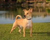 Chihuahua orgullosa Fotos de archivo