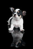 Chihuahua over black Royalty Free Stock Photo