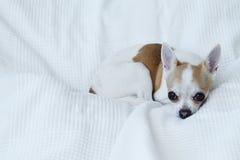 Chihuahua på den vita sängen royaltyfria foton