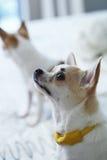 Chihuahua på den vita sängen royaltyfri bild