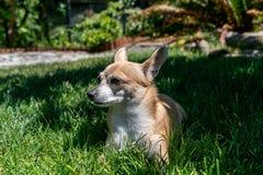Chihuahua på gräset royaltyfri foto