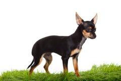 Chihuahua på gröna gras som isoleras på vit bakgrund Arkivbilder