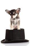 Chihuahua på hatten som isoleras på den vita bakgrundshunden Fotografering för Bildbyråer