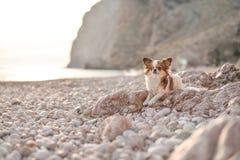 Chihuahua på stranden royaltyfri foto