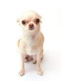 Chihuahua på vit bakgrund Arkivbilder