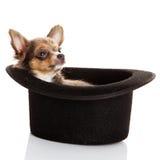Chihuahua på vit bakgrund Royaltyfri Foto