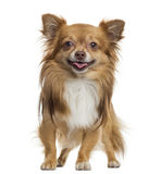 Chihuahua panting, standing, isolated. On white Stock Images
